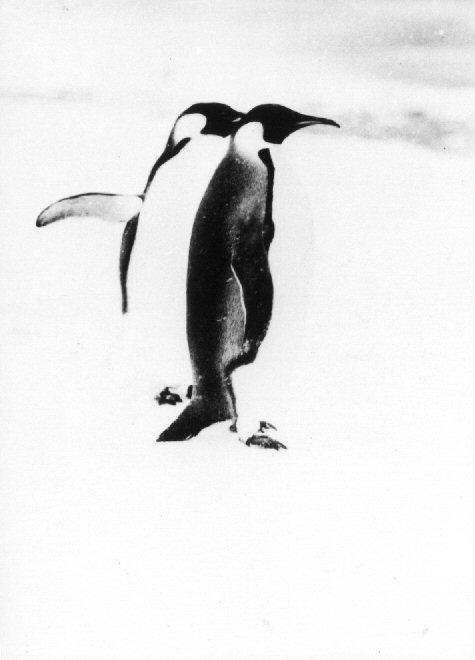 Emperor Penguins, ca. 1929, Richard E. Byrd Papers, #7791.